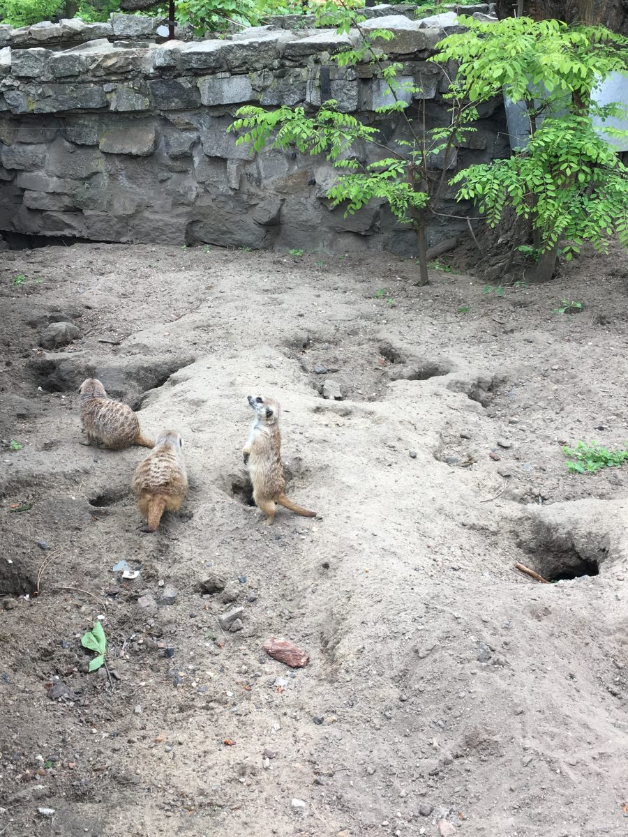 wroclaw zoo meerkat