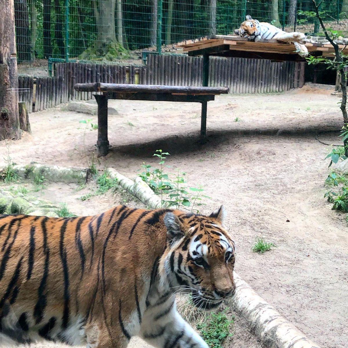 Gdansk eläintarha tiikeri