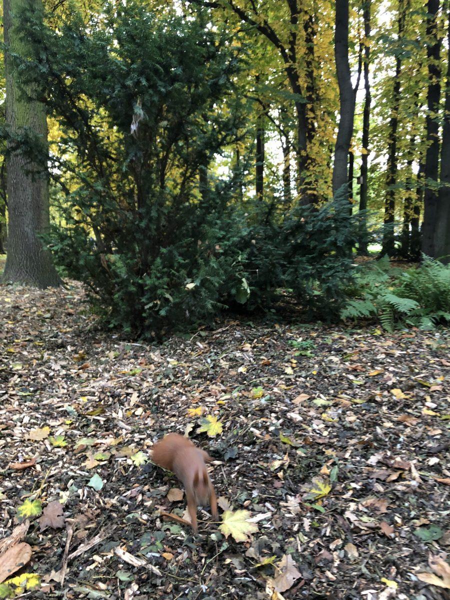 orava puistossa