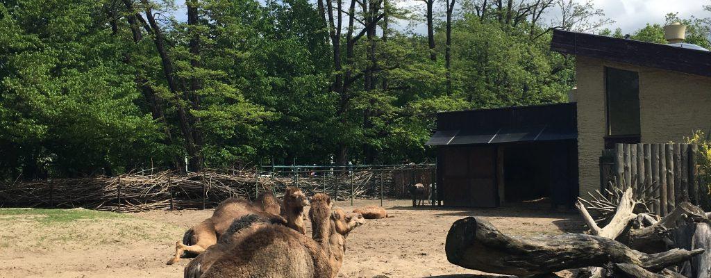 Wroclaw zoo camel